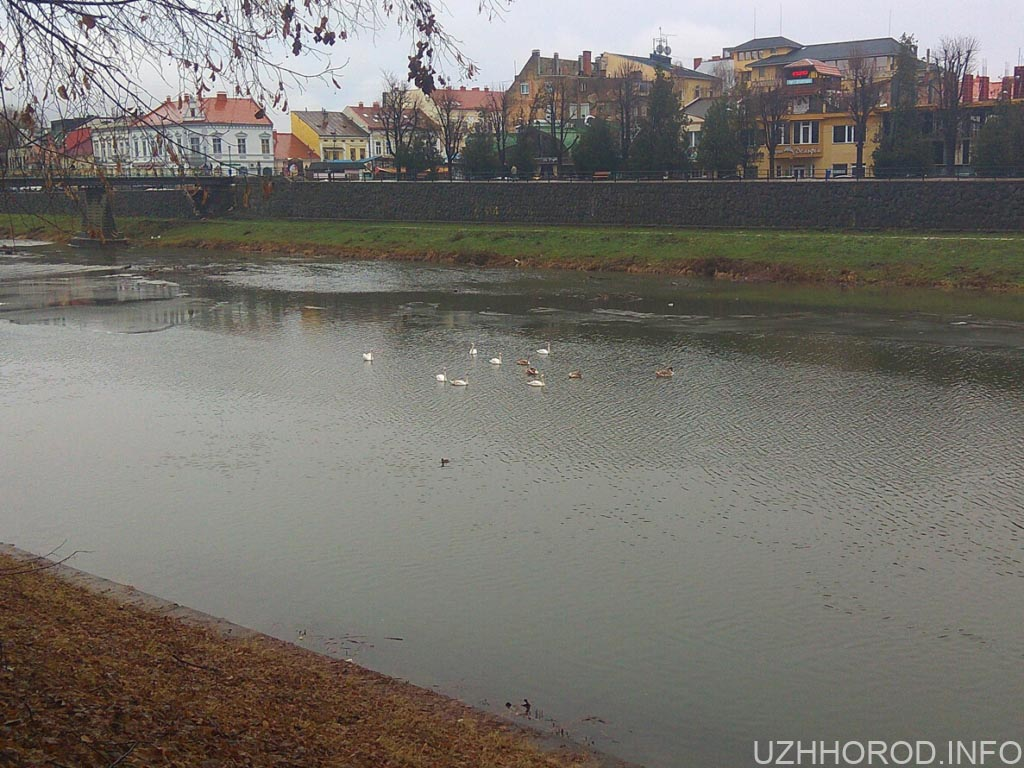 ужгородські лебеді 3 фото