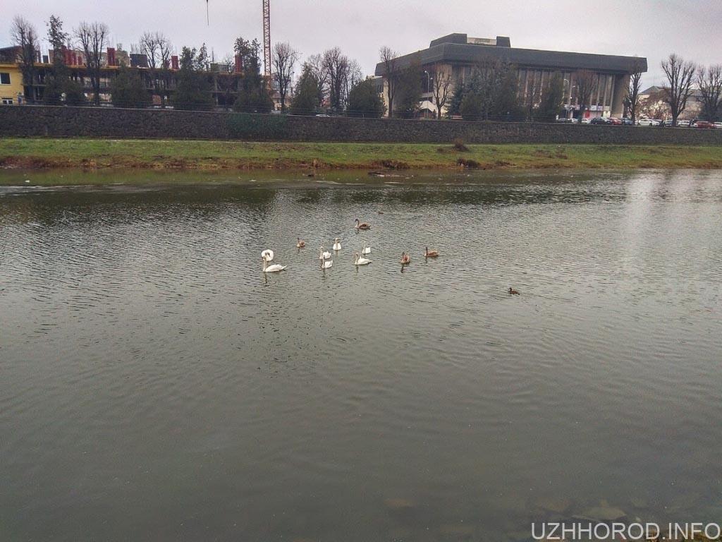Ужгородські лебеді фото 5