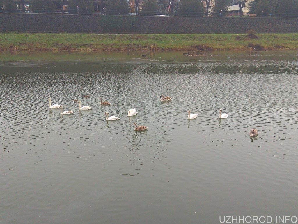 Ужгородські лебеді 6 фото