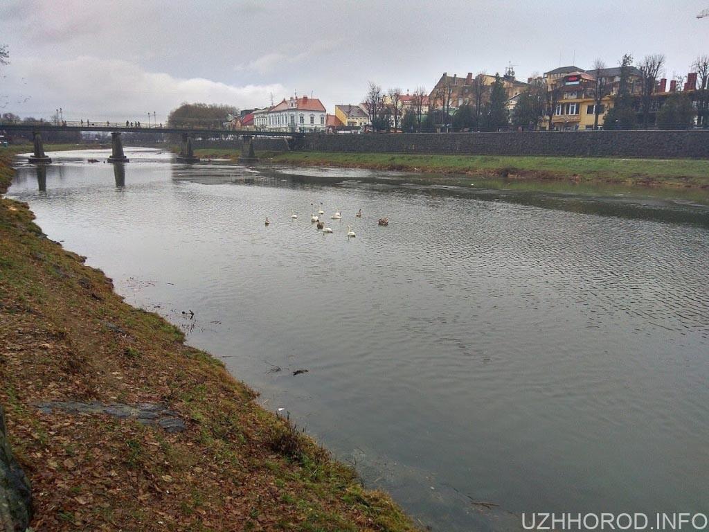 Ужгородські лебеді 7 фото