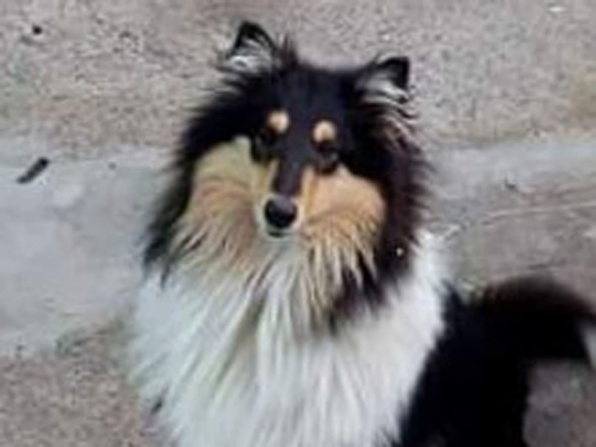 загублено собаку коллі шахта фото