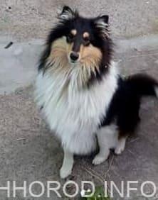 загублено собаку коллі фото