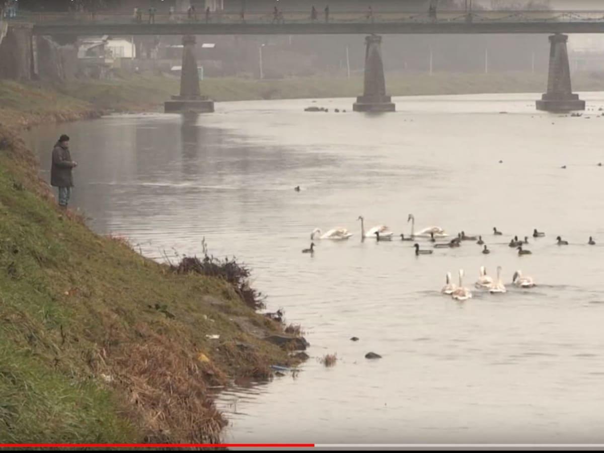 Ужгородців просять не годувати лебедів на річці (ВІДЕО)