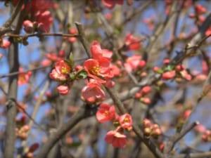Весна: в Ужгороді починають квітнути дерева (ВІДЕО)