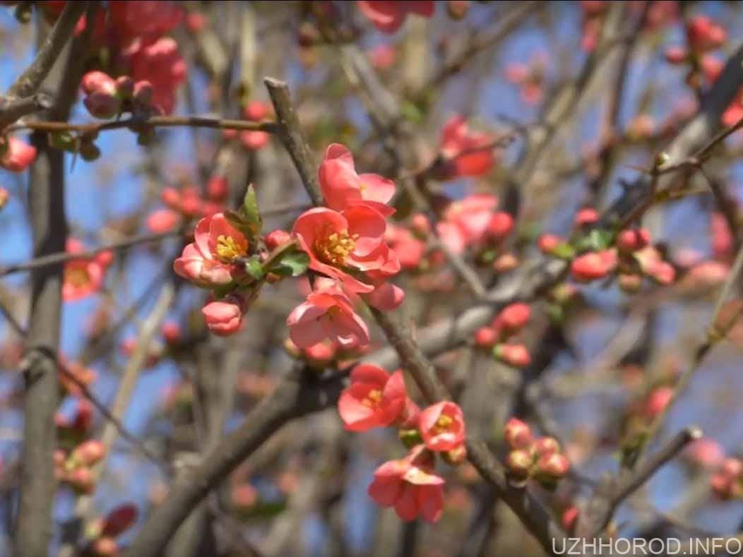 в Ужгороді починають квітнути дерева фото