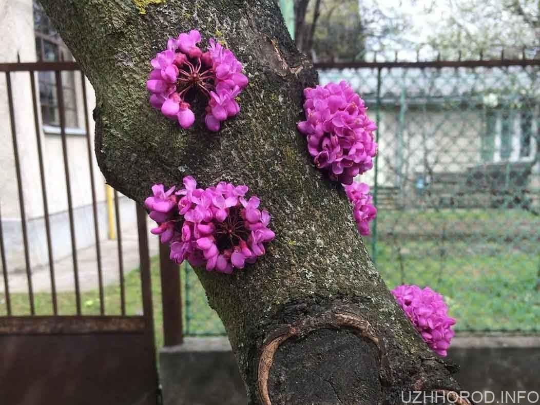 в Ужгороді розквітло юдине дерево фото