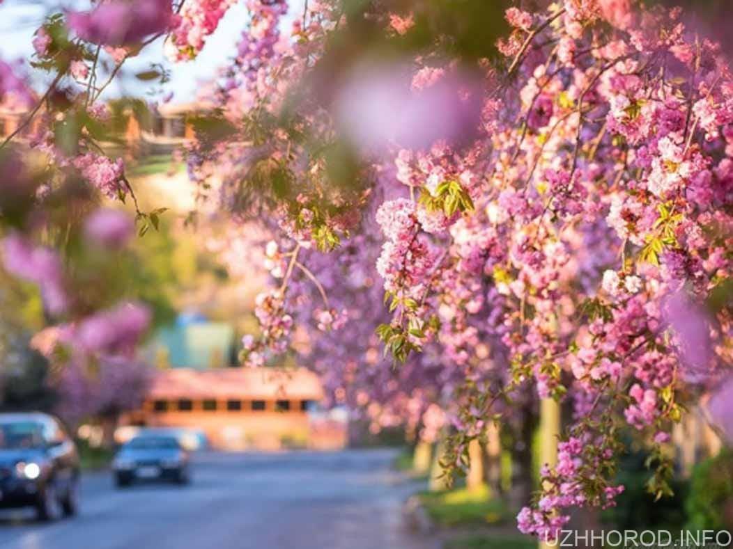 Ужгороді розцвіли 10 тис сакур фото