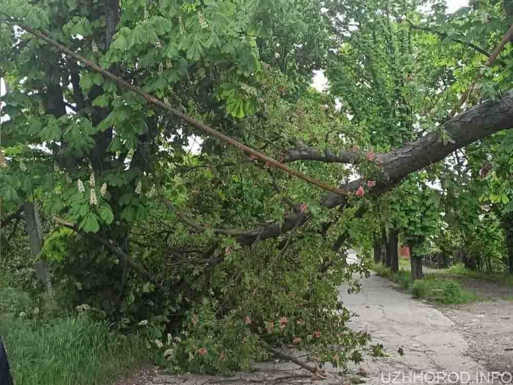 Через пориви вітру дерево впало на газову трубу фото
