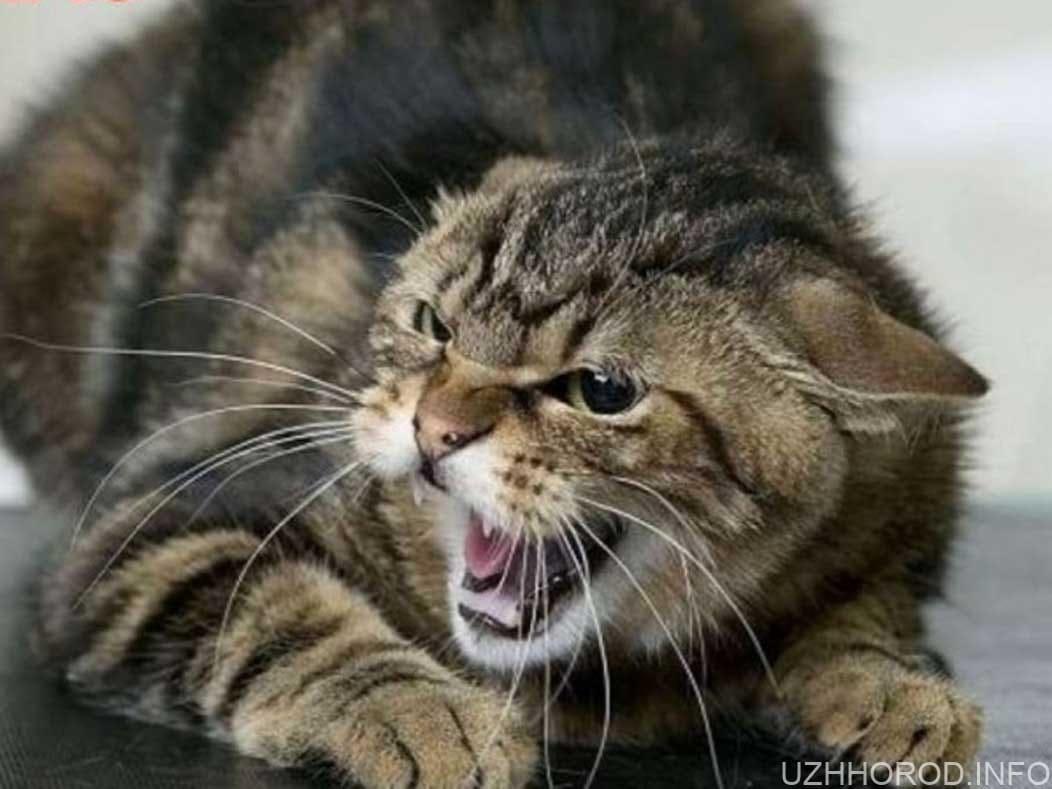 Хворого на сказ кота виявили в Сторожниці фото