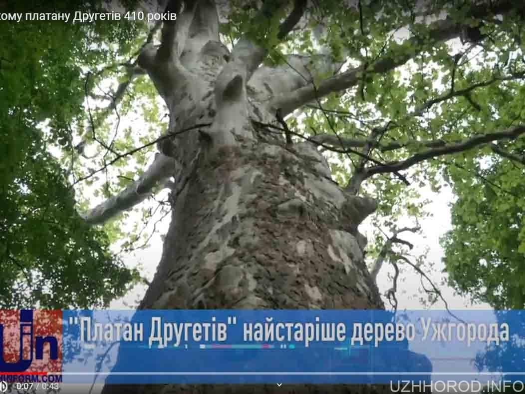 Платану Другетів виповнилось 410 років фото