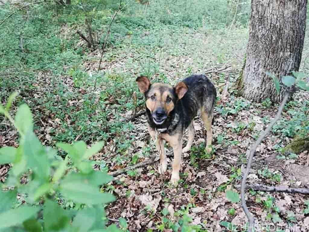 Розшукується власник пса привязаного в лісі на Шахті фото