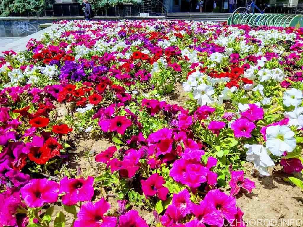Сьогодні в Ужгороді поливають рослини, прополюють квітники фото