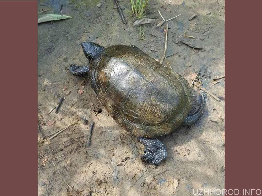 сфотографували прісноводну болотну черепаху фото