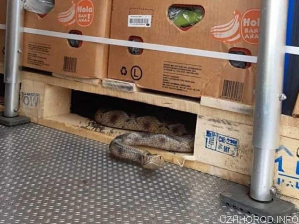 Закарпатець у своїй вантажівці виявив велику змію фото