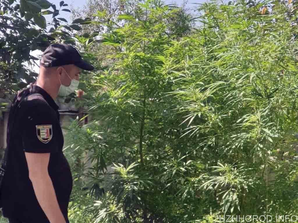 У Дубрівці поліцейські виявили посіви конопель