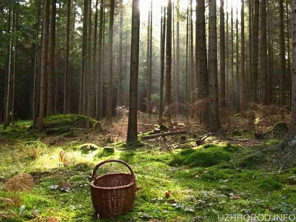 гриби ліс кошик фото