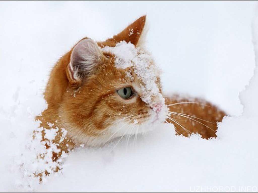 сніг кішка фото