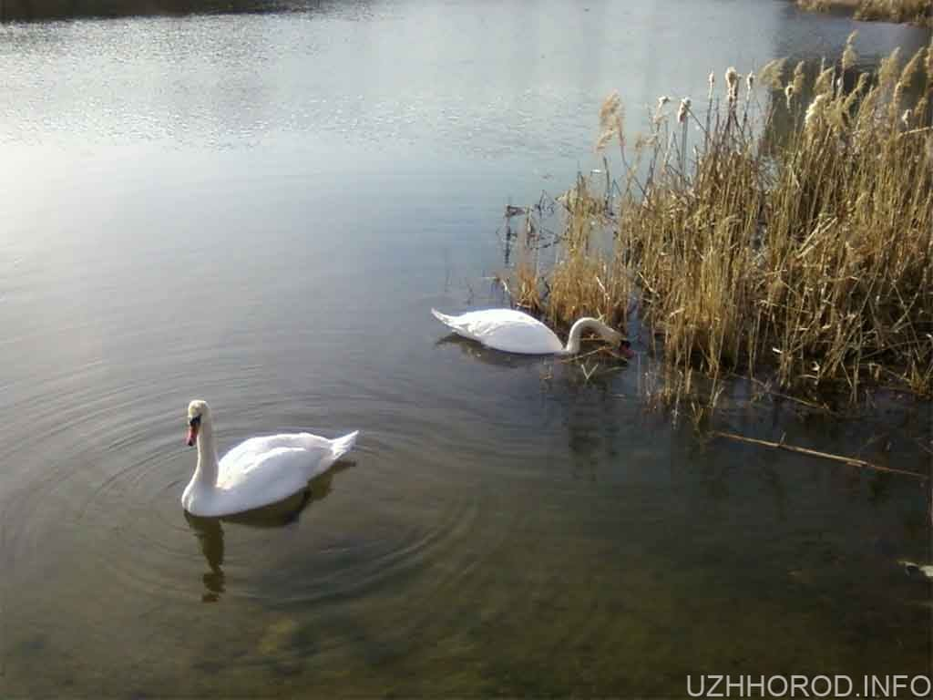 На ужгородську Кірпічку повернулися торішні лебеді фото