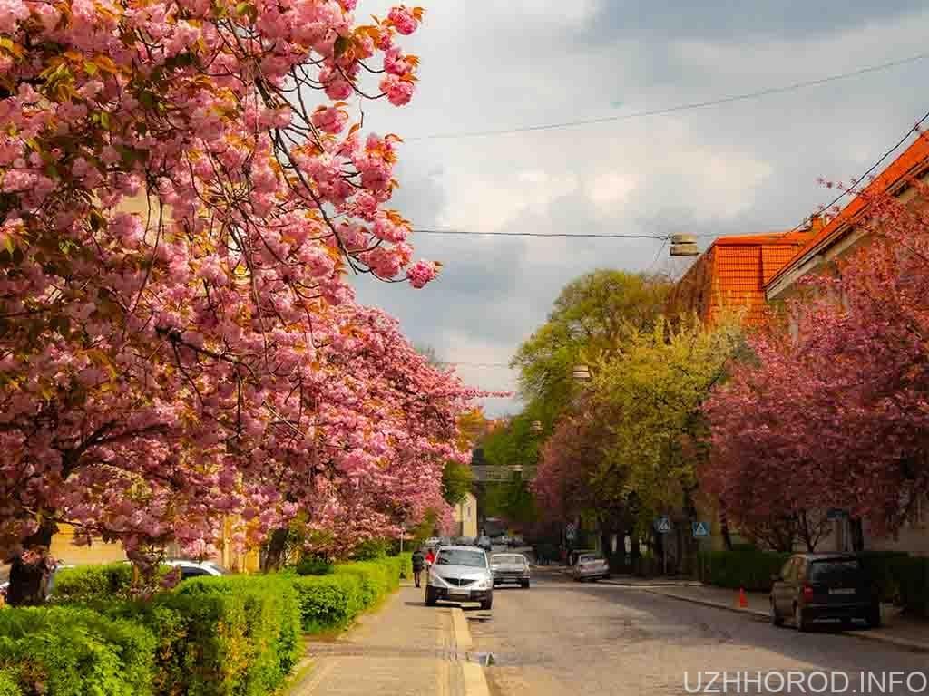 Під час цвітіння сакур до Ужгорода приїхало 60 тис. туристів (ВІДЕО)