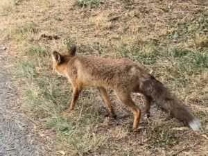 В центральному парку Ужгорода з людьми заграє дика лисиця