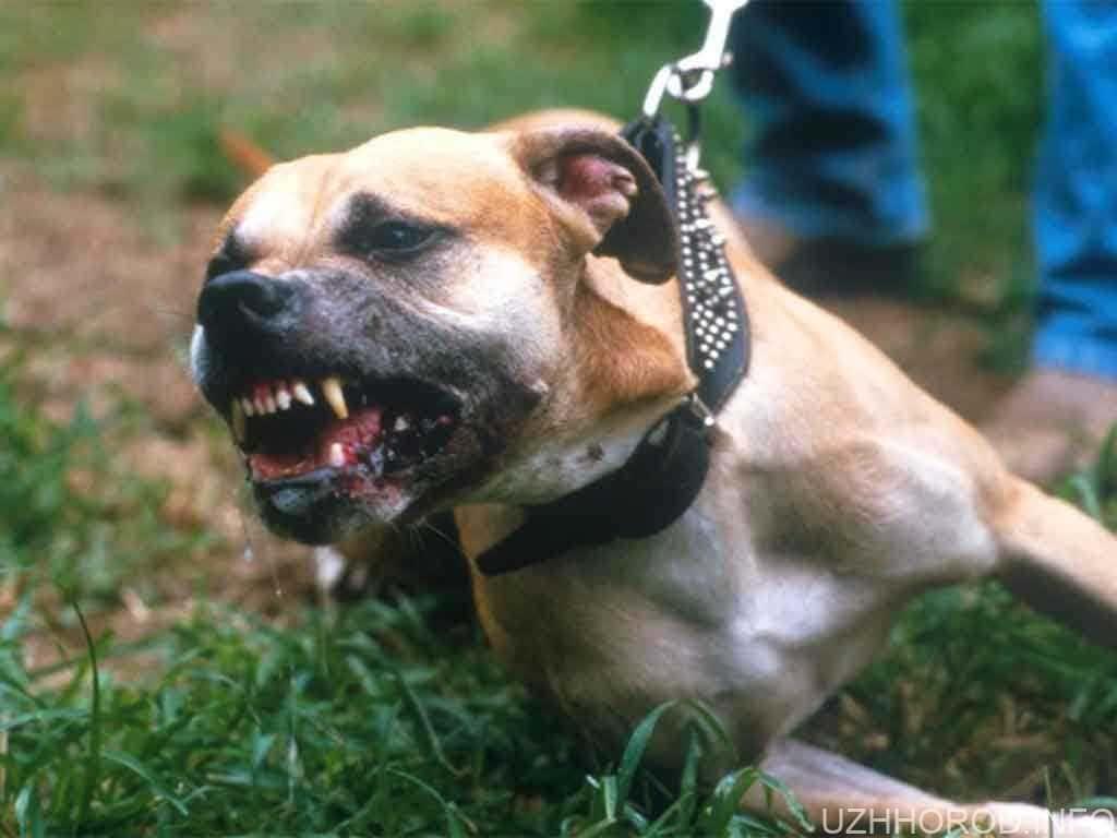 В Ужгороді бійцівська собака вчинила напад на тварин