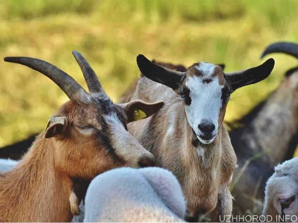 тварини кози стадо фото