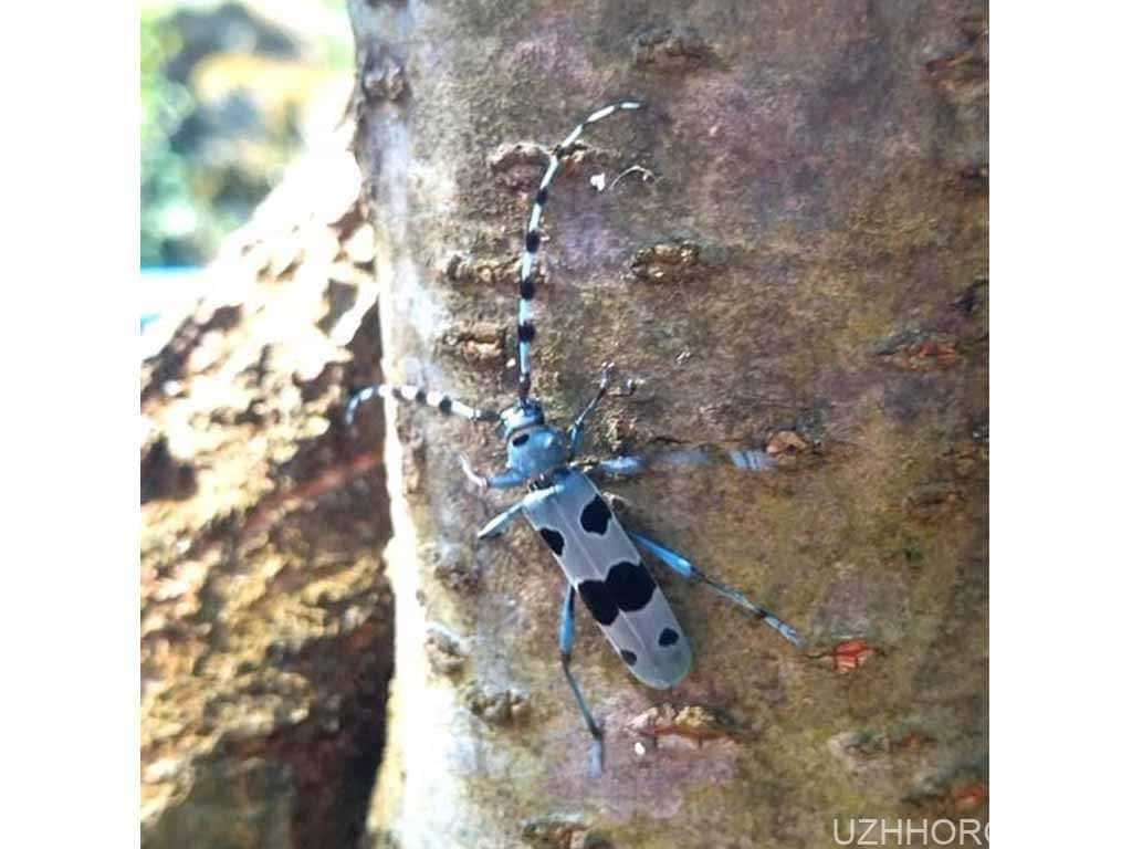 вусач альпійський жук фото