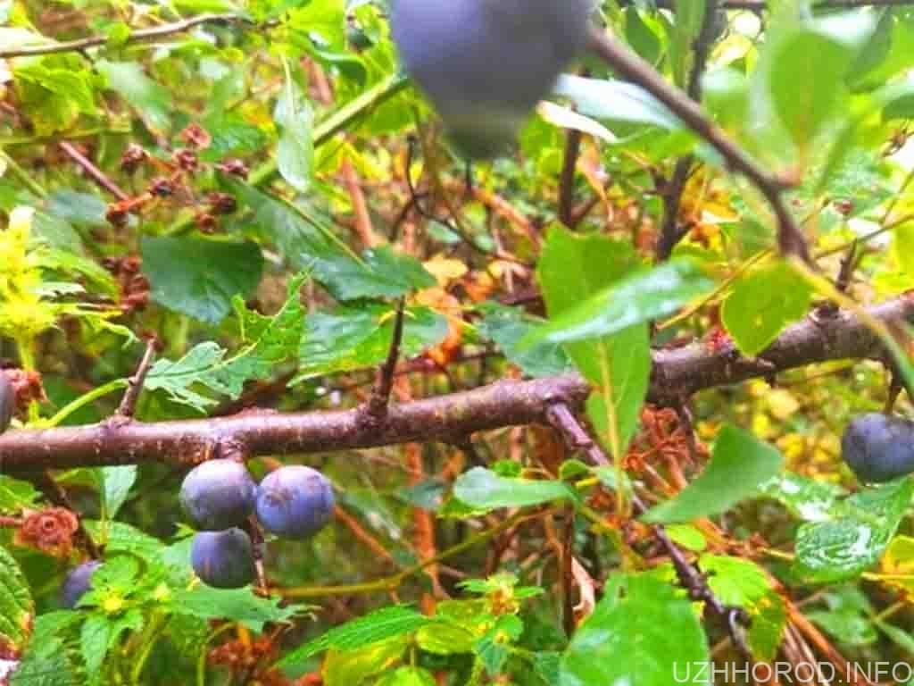 Закарпатці збирають колючу «цапову ягоду»